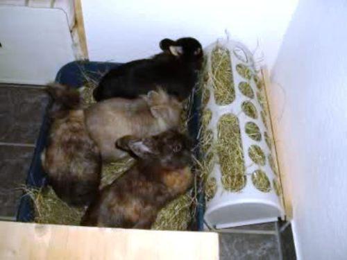 konijneneten